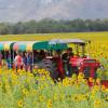 Rực rõ sắc vàng hoa hướng dương tại Lopburi – Thái Lan