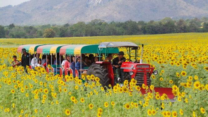 Lopburi – Thái Lan óng vàng sắc hoa hướng dương