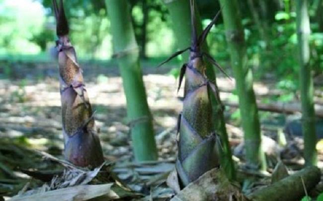 Loại rau rừng được yêu thích nhất - Măng Sặt