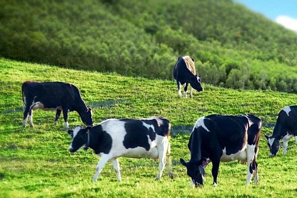Trang trại bò sữa Mộc Châu